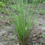 Veterer Grass